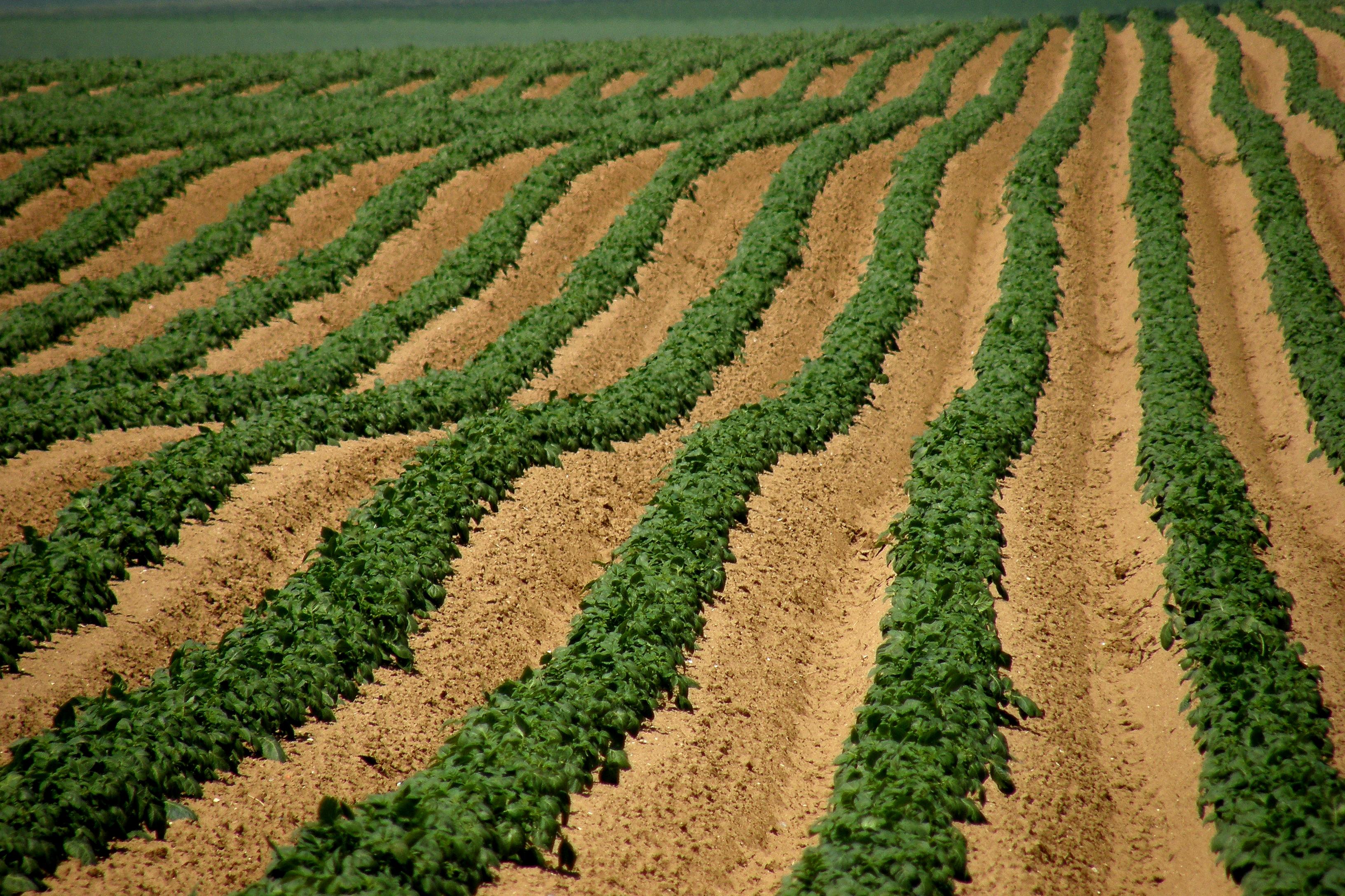 File potato field hendecourt l s wikimedia commons - Date plantation pomme de terre ...