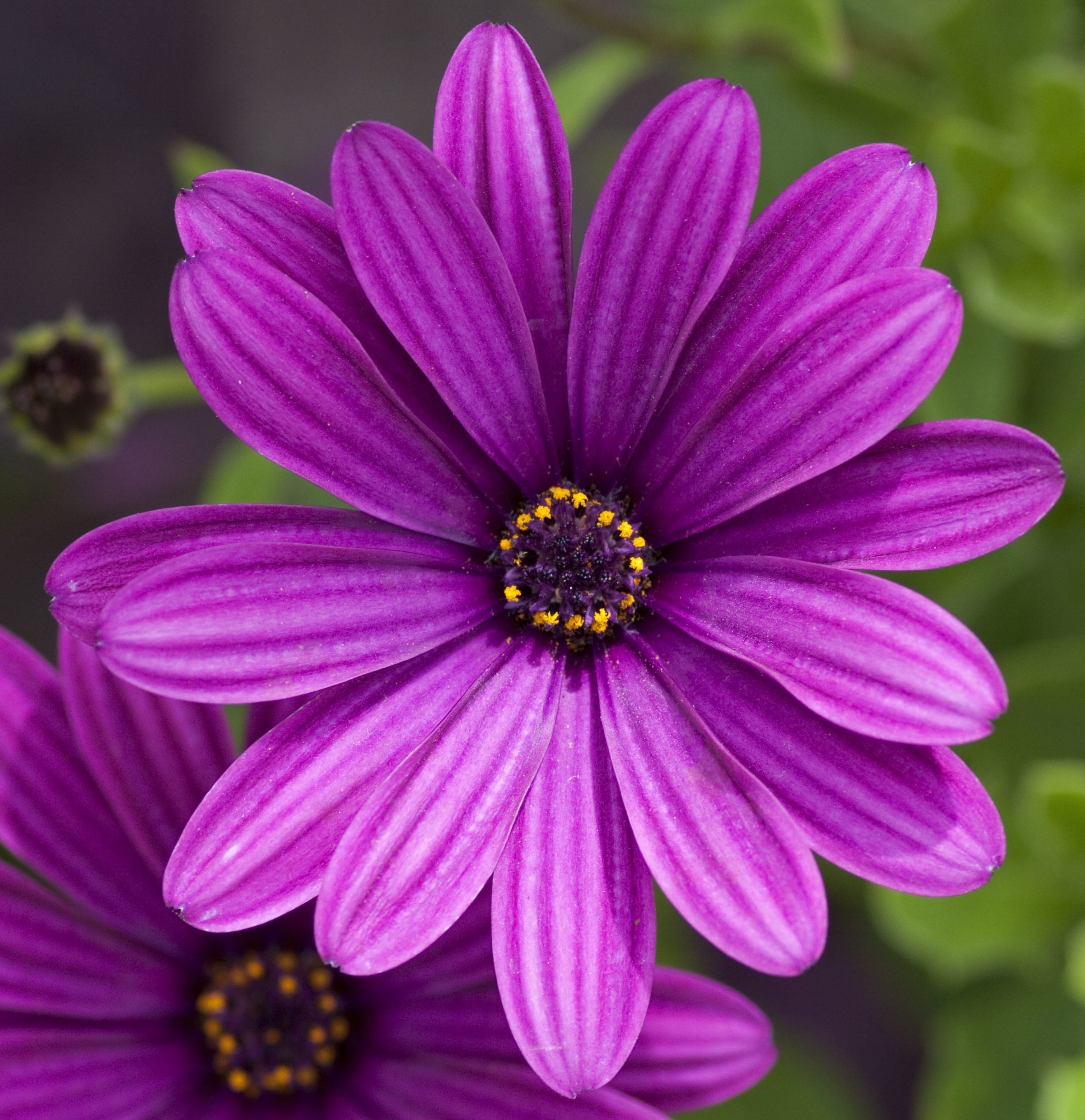 filepurple flower   wikimedia commons, Natural flower