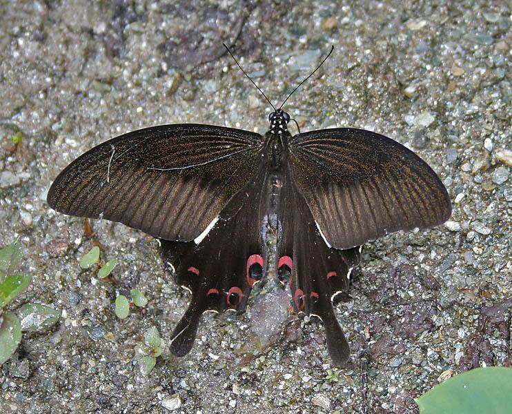 Fail:Red Helen (Papilio helenus) at Samsing, Duars, WB W IMG 6219.jpg