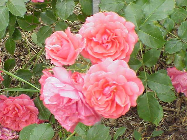 rosarium uetersen rose wikipedia. Black Bedroom Furniture Sets. Home Design Ideas