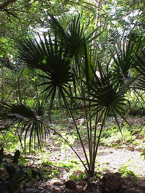 Sabal - Palme da giardino resistenti al freddo ...
