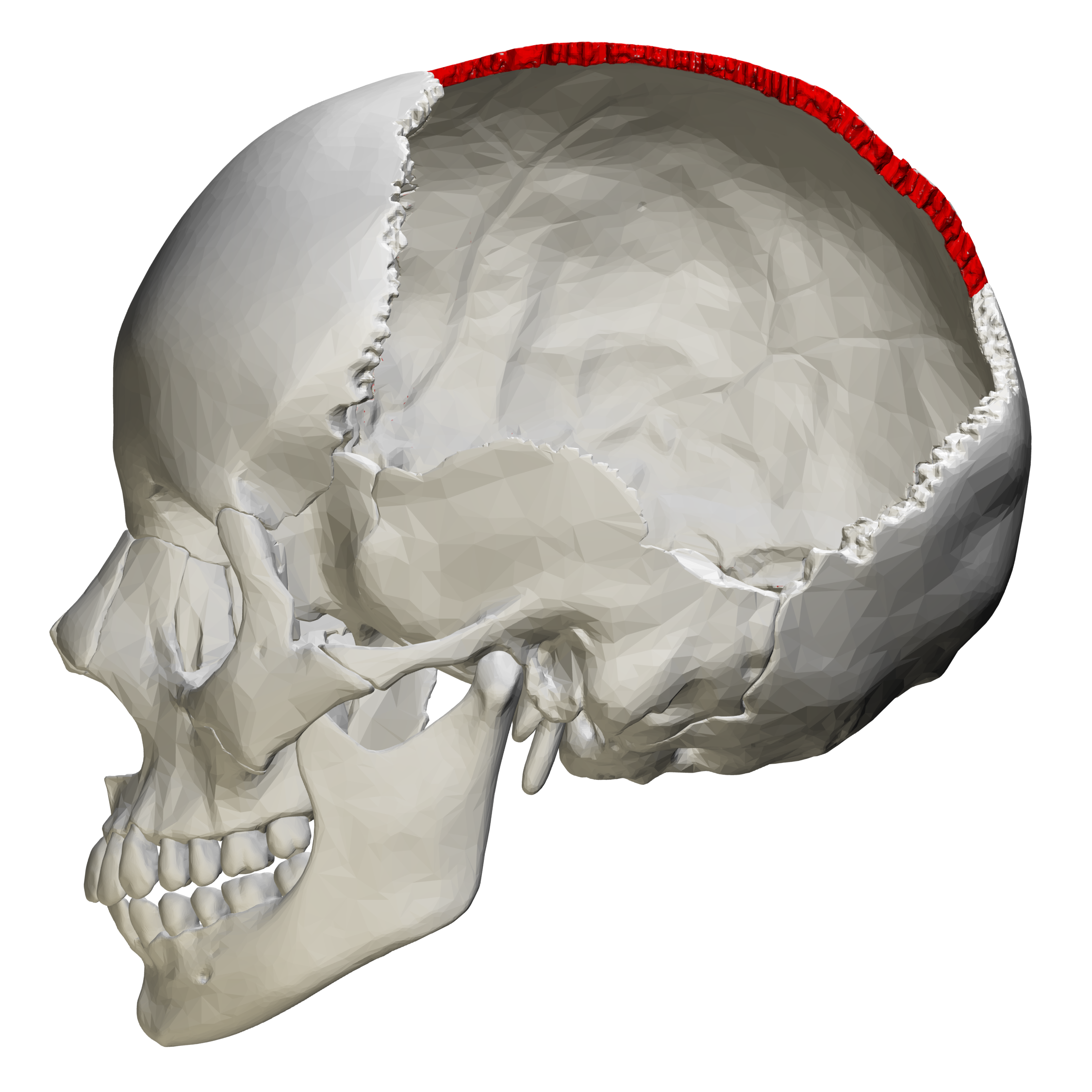 File:Sagittal suture - skull - lateral view01.png ...