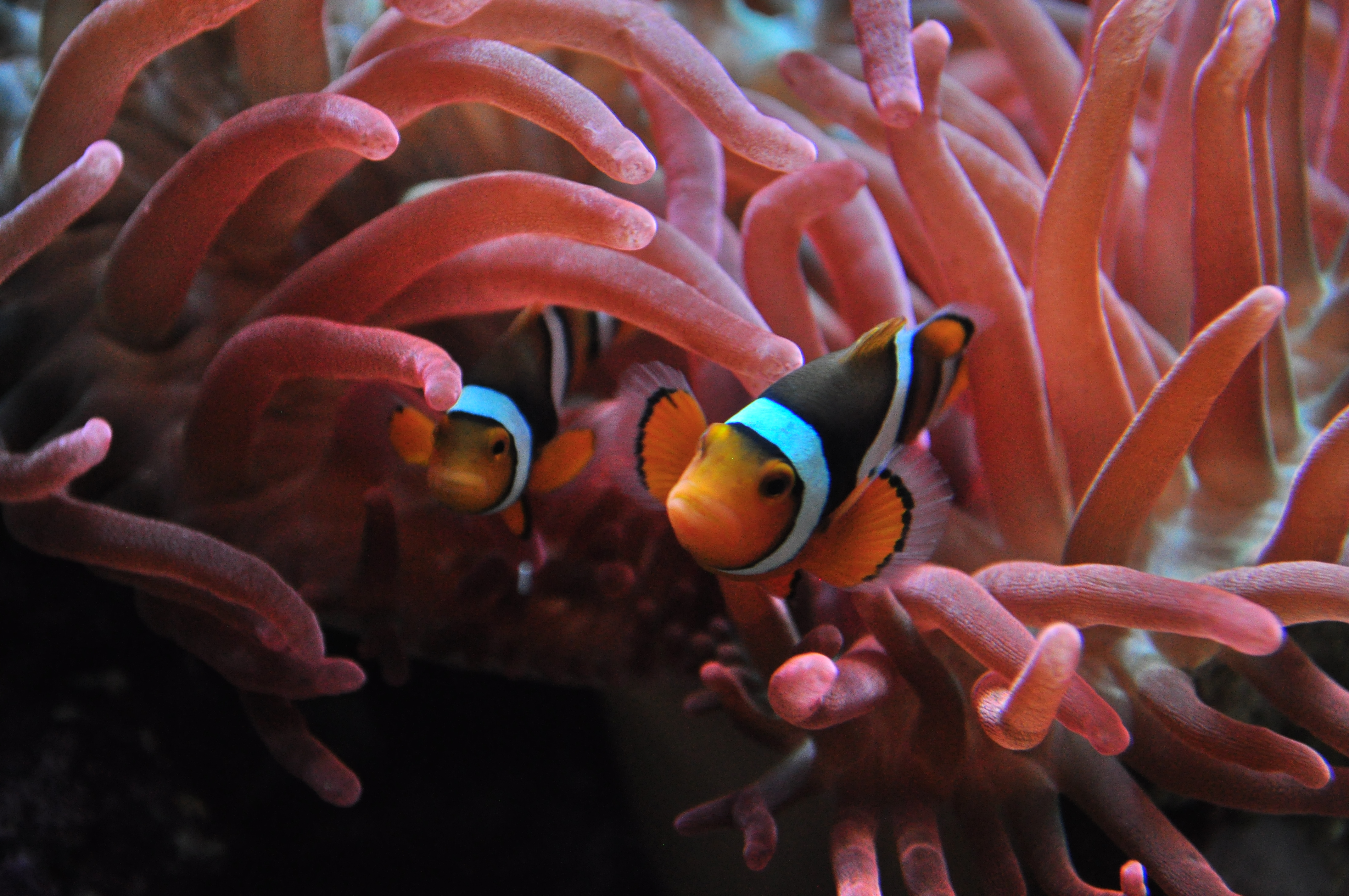 File:Seattle Aquarium 094 - Tropical Pacific - clownfish and sea ...