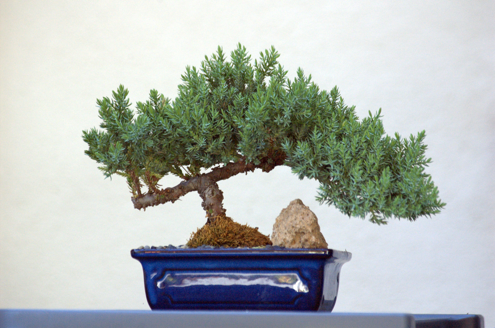 Frische Samen Ponderosa-Kiefer Ideal Bonsai