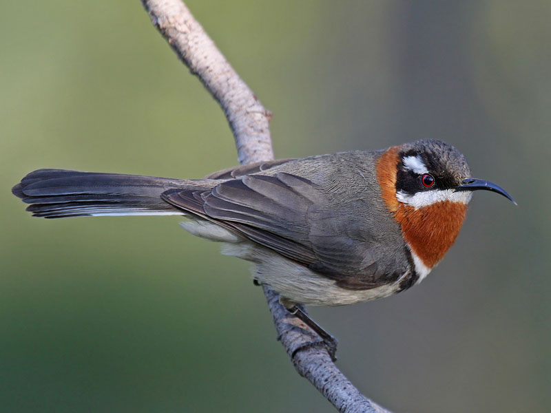Behind The Name >> Western spinebill - Wikipedia