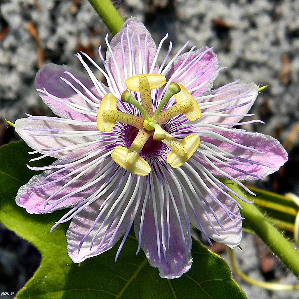 File Stinking Passionflower Passiflora foetida Wikimedia