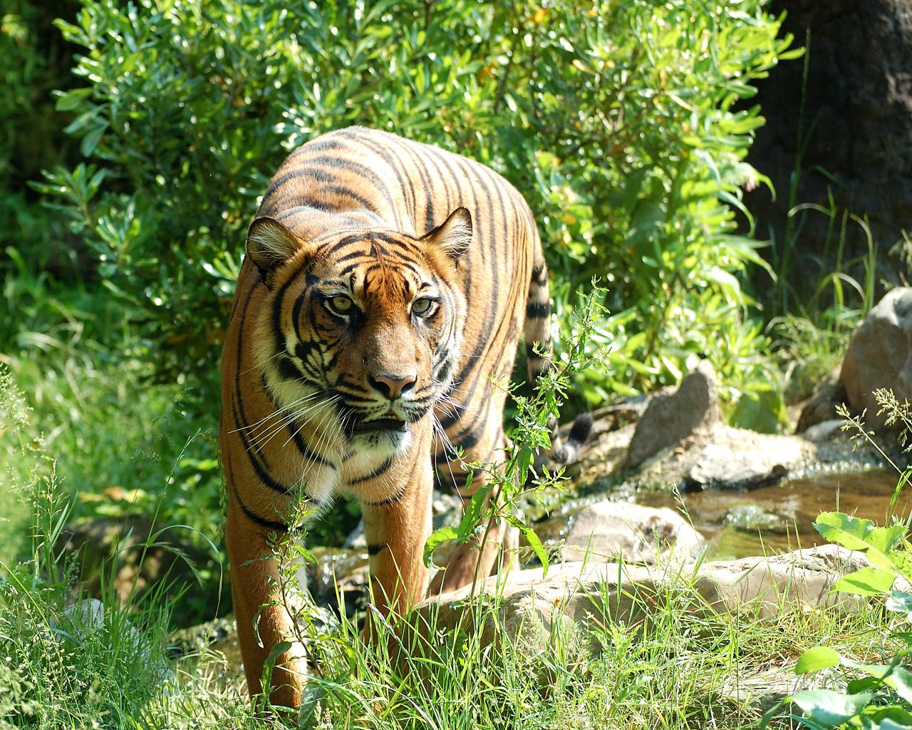 Sumatraanse Tijger.jpg
