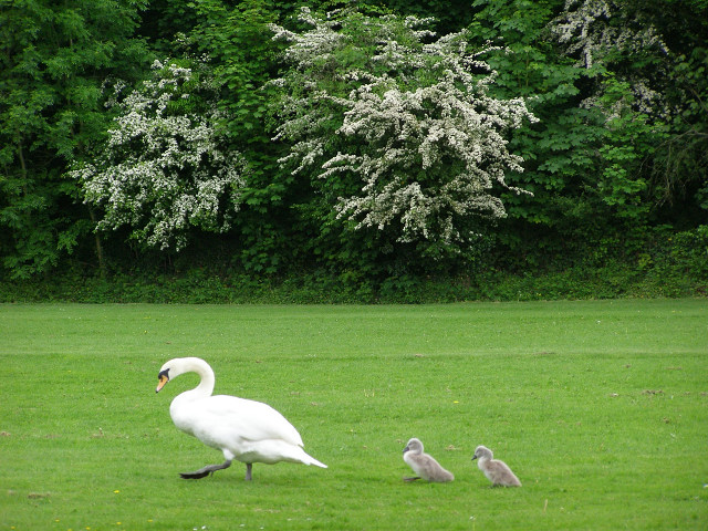 Swan and cygnets close to the Itchen Navigation, Winchester - geograph.org.uk - 175582