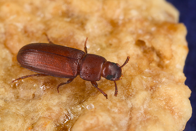 Red flour beetle - Wikipedia