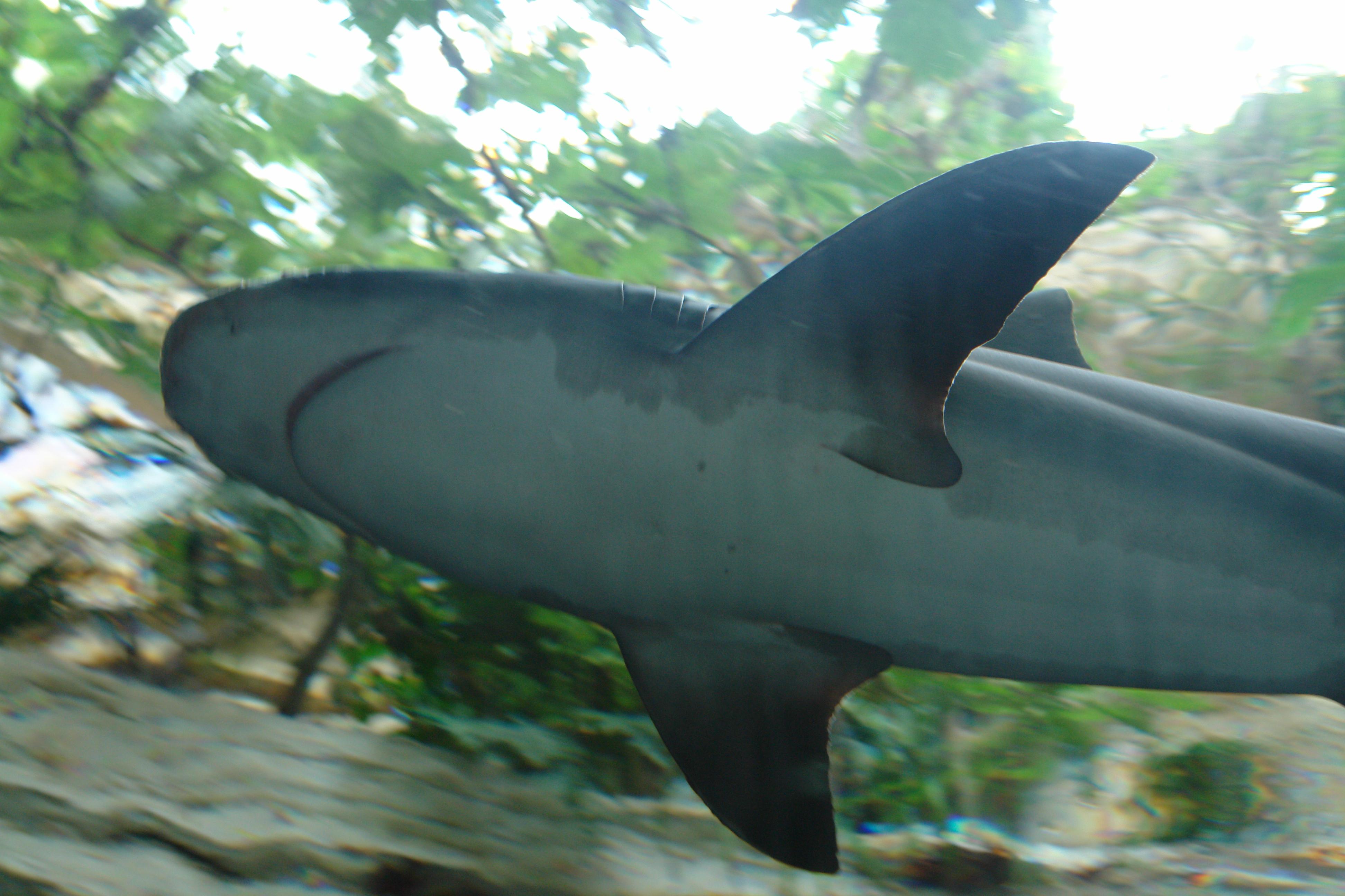 File Underside Of A Shark Dallas World Aquarium Jpg