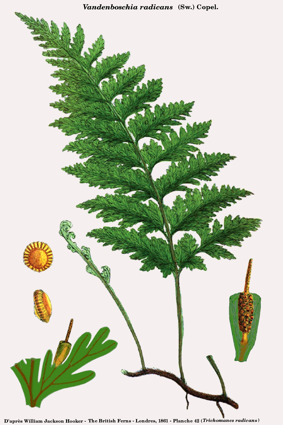Vandenboschia radicans (Hooker).jpg © Denis.prévôt