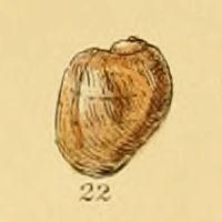 <i>Velutina plicatilis</i> Species of gastropod