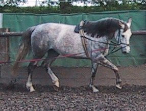 A young horse in Europe being longed with a surcingle and side reins Wakira3.jpg