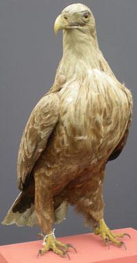 White-tailed eagle - Wikipedia