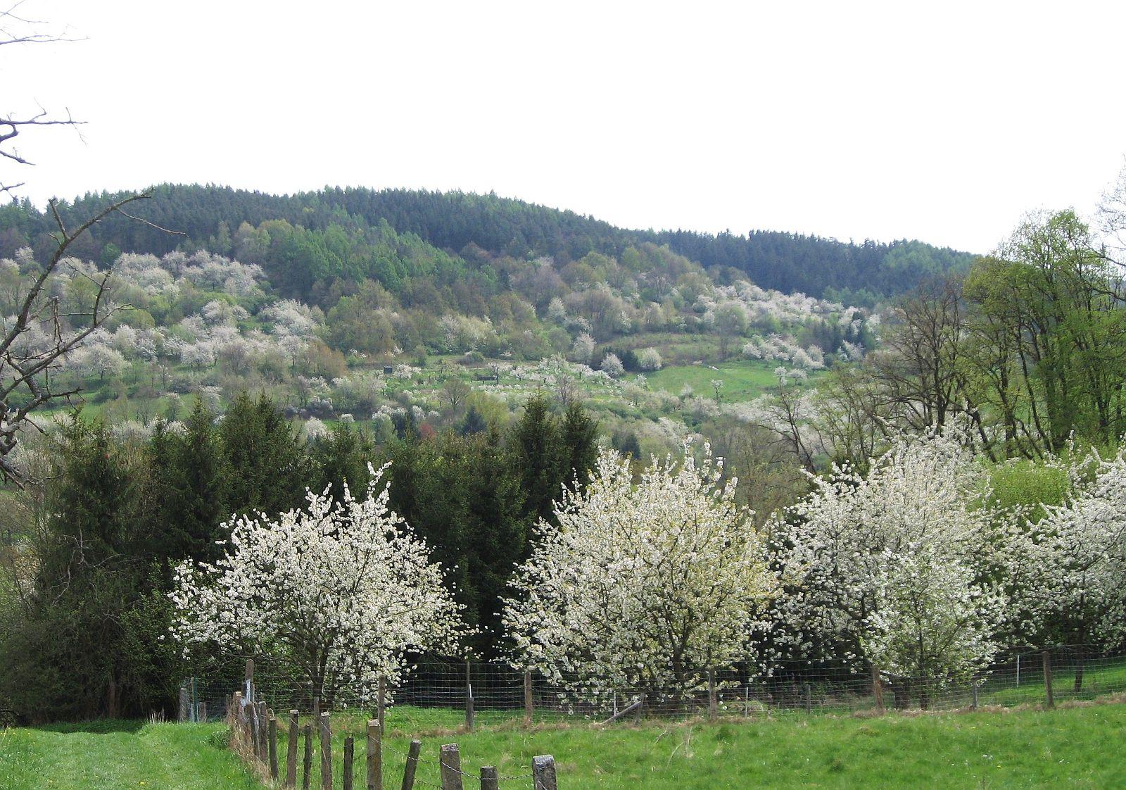 Kirschblüte online-dating