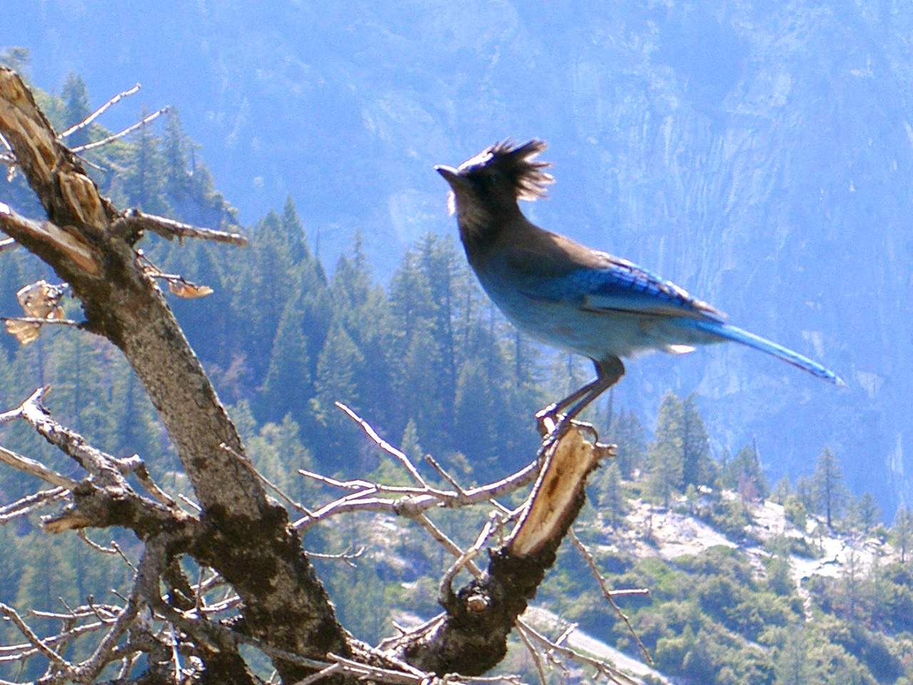 Description yosemite blue bird jpg