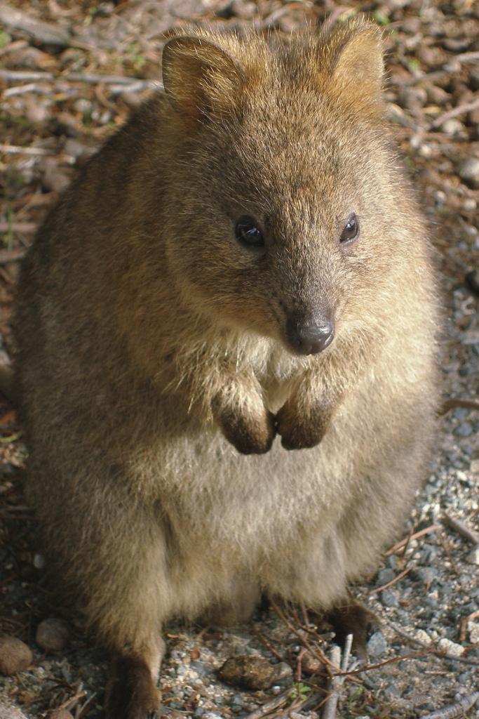 File:A142, Rottnest Island, Western Australia, quokka ...