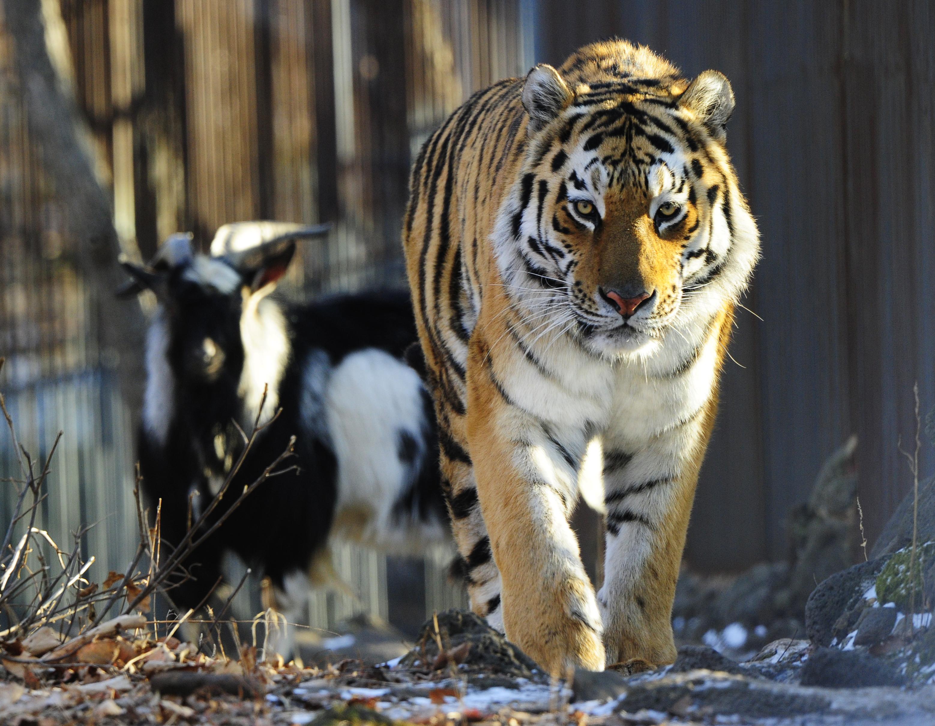 Amur and Timur 004.jpg