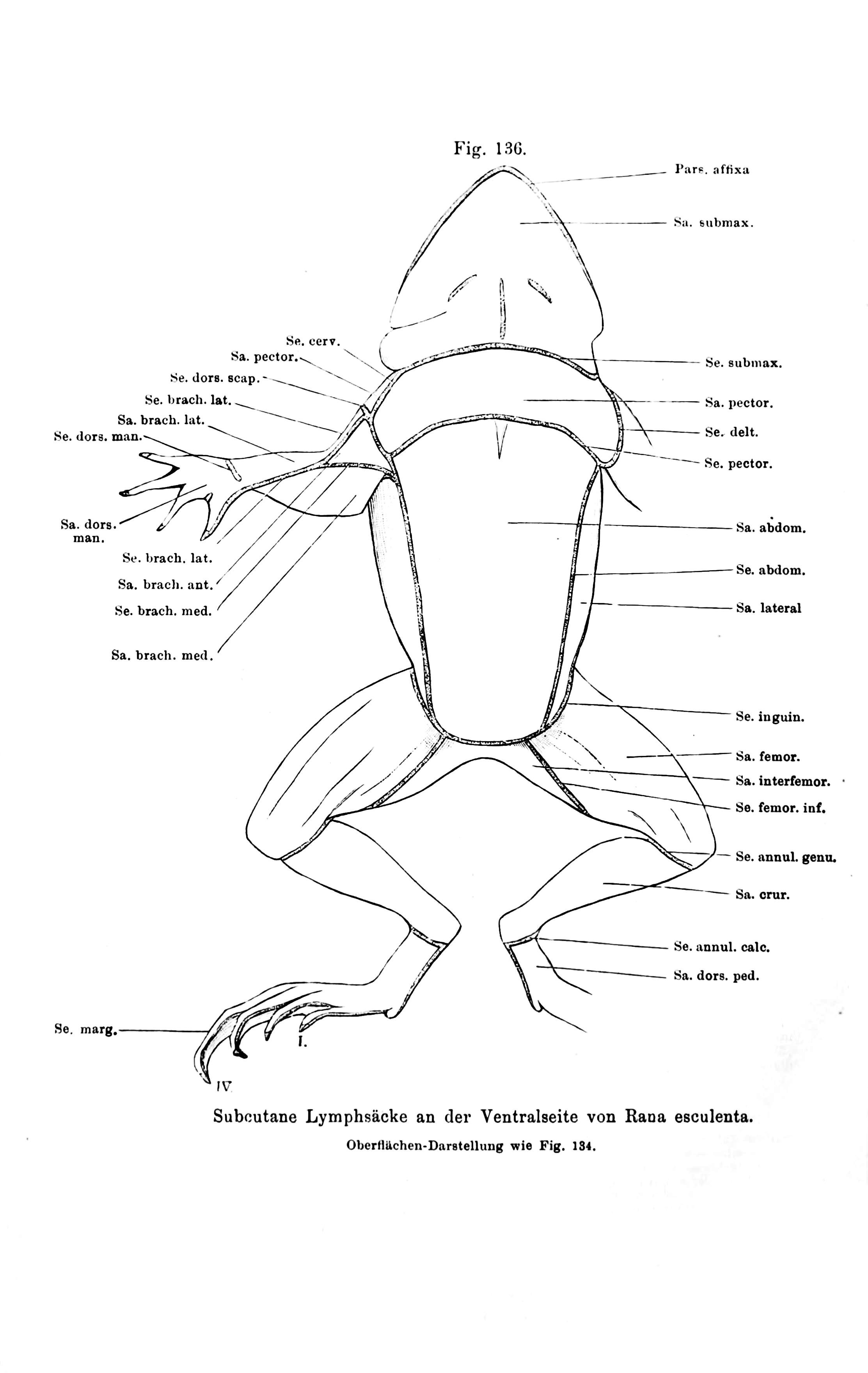 Ausgezeichnet Katzenaugen Anatomie Ideen - Anatomie Ideen - finotti.info