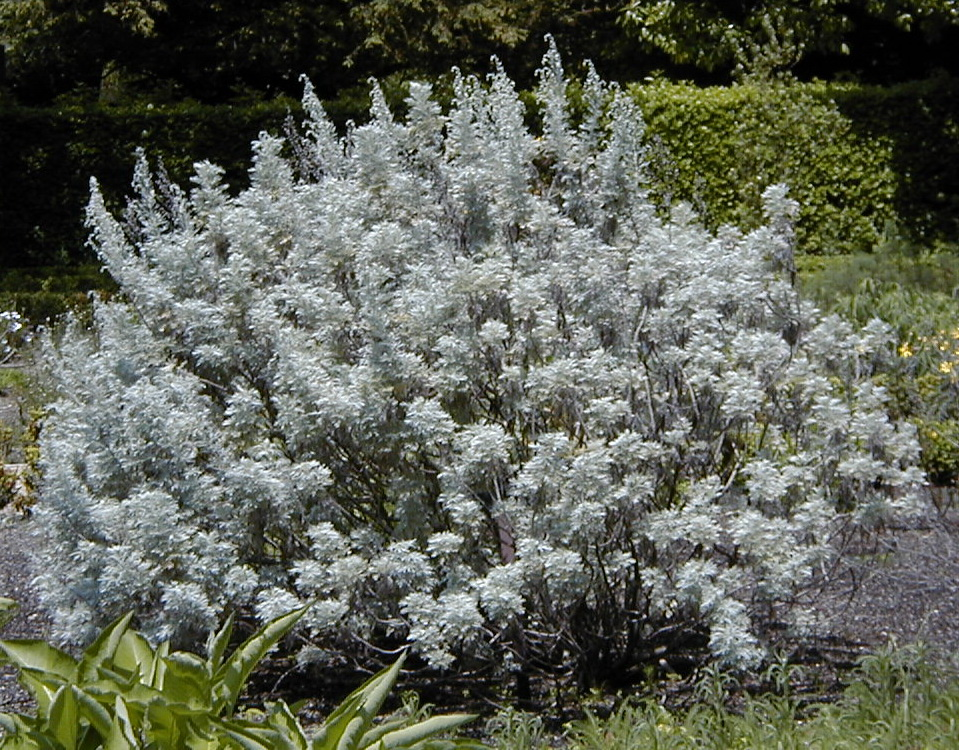File artemisia wikimedia commons for Arbustos ornamentales para jardin