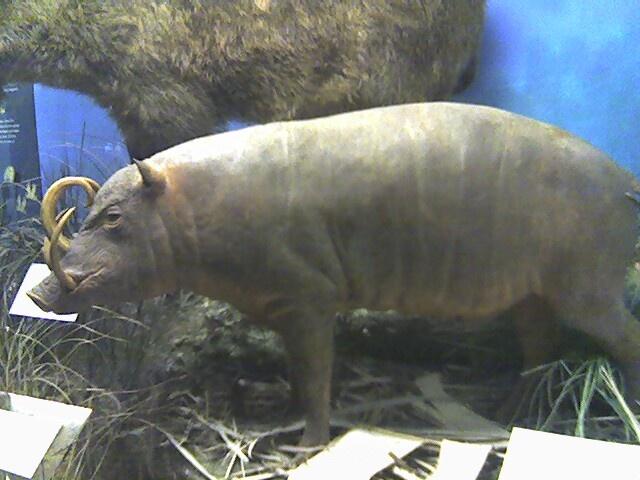 Bildergebnis für babirussa