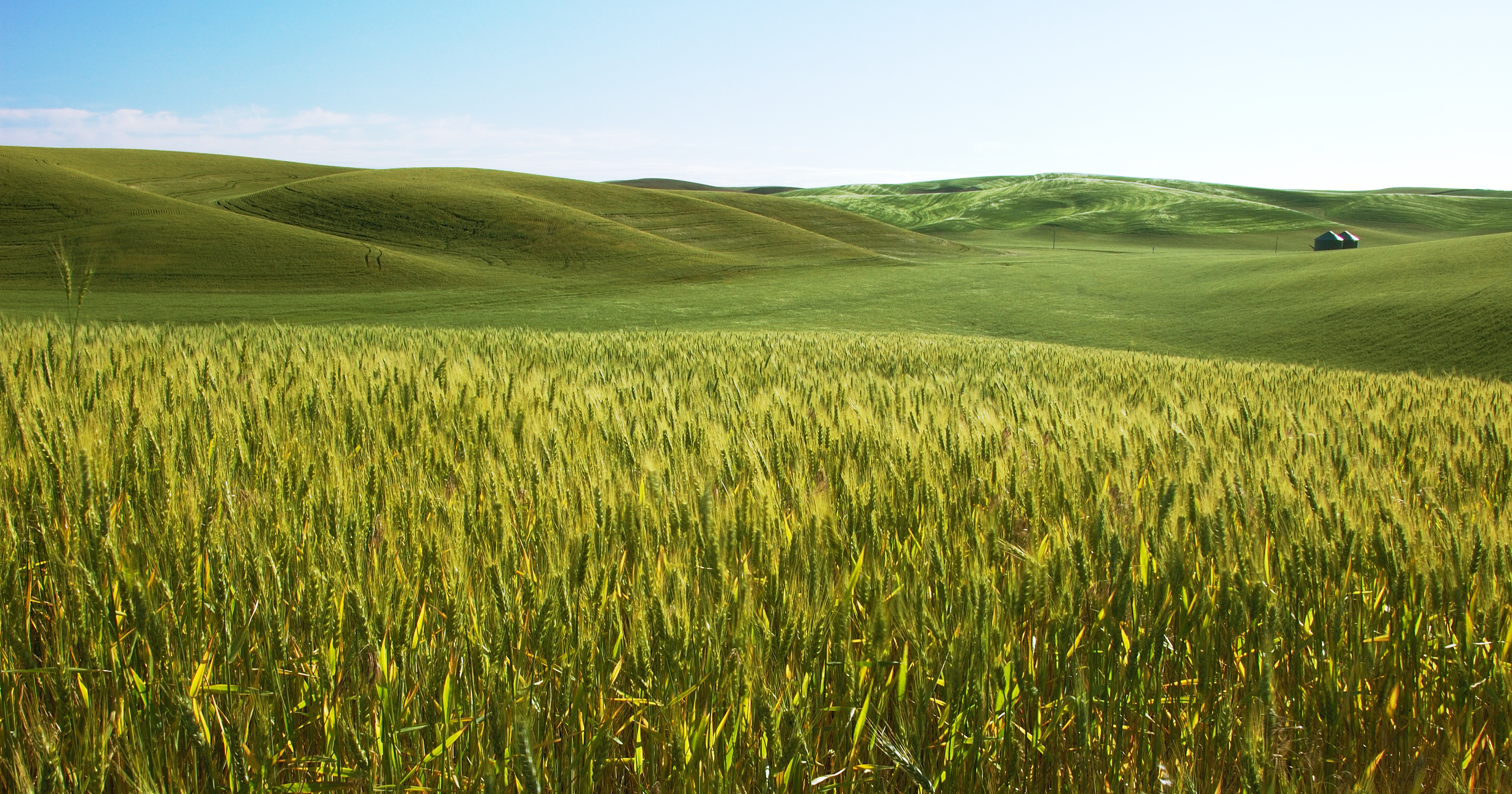 Golden fields of wheat that stretch from the foreground to the middle, set against rolling green hills and a blue sky