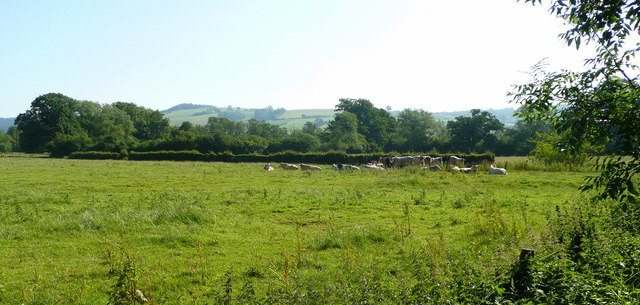 Beef cattle in summer meadow - geograph.org.uk - 869517