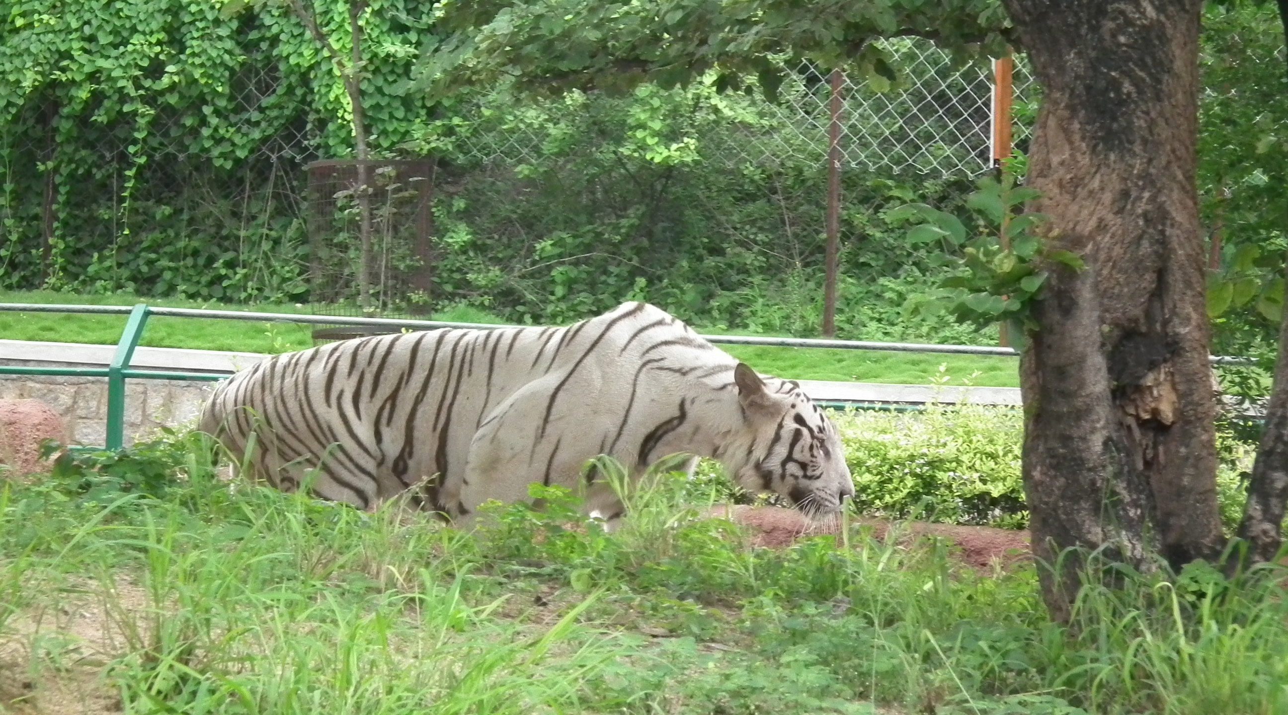 File Bengal White Tiger From Nehru Zoo Hyderabad 4264 Jpg