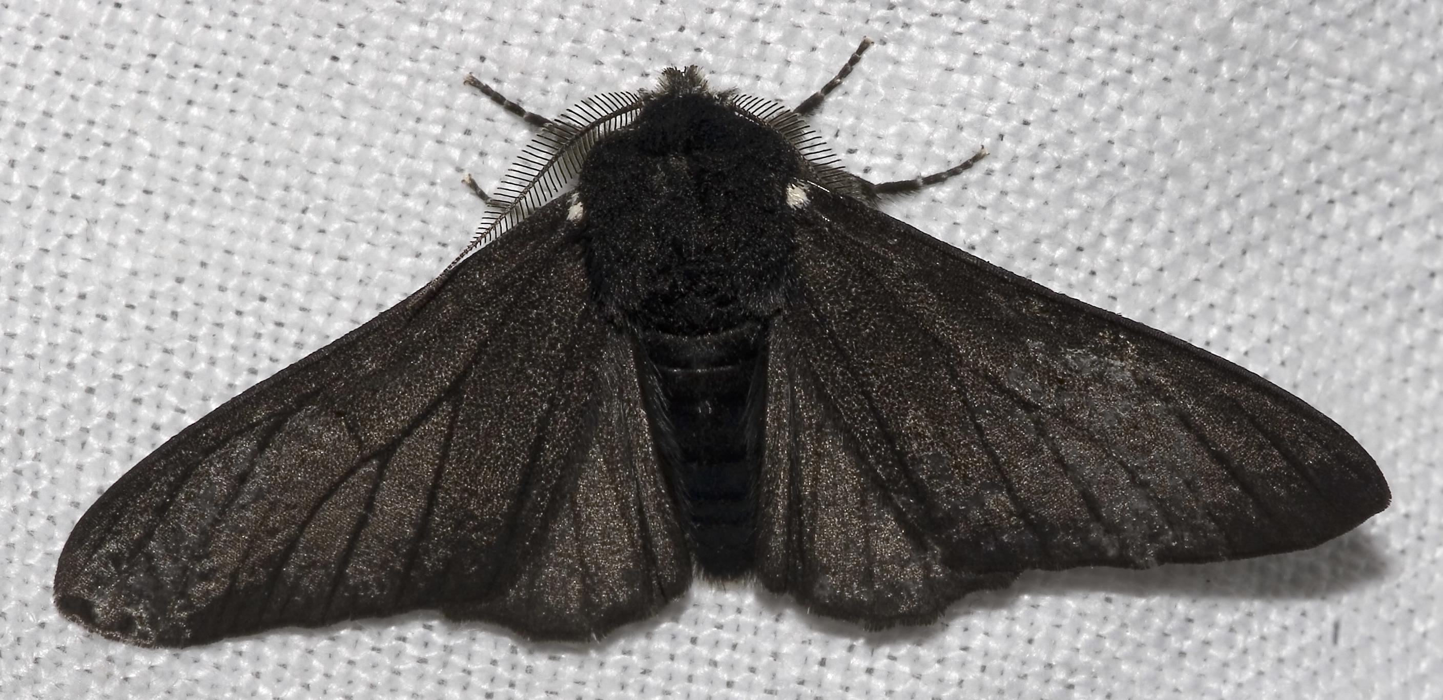 Peppered Moth Type Of Natural Selection