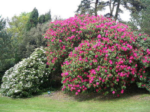 File Bois Des Moutiers Rhododendron00 Jpg Wikimedia Commons