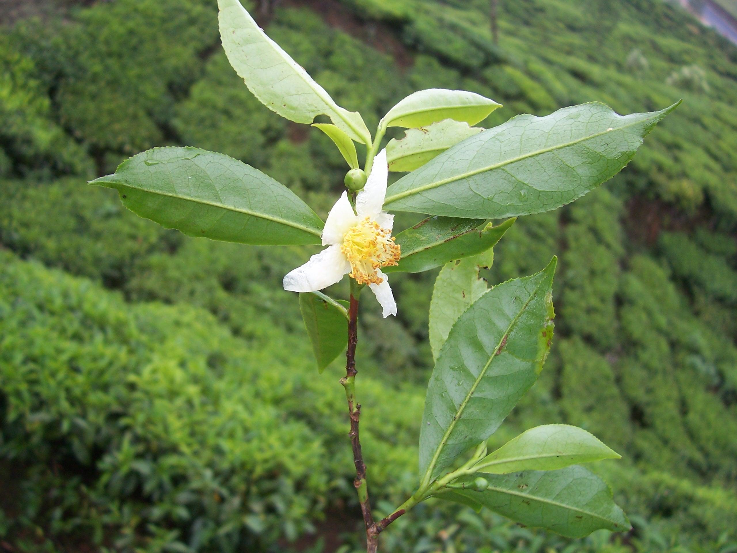 file camellia sinensis flower tea jpg wikimedia commons