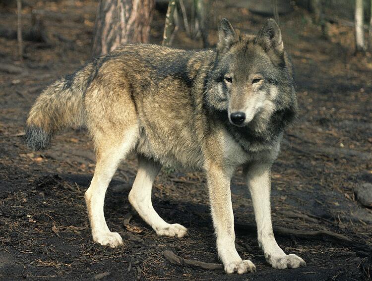 File:Canis-lupus.jpg