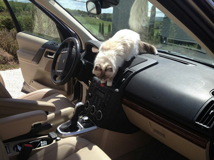 File:Cat in a range rover jpg - Wikimedia Commons