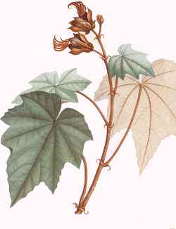 Chiranthodendron pentadactylon