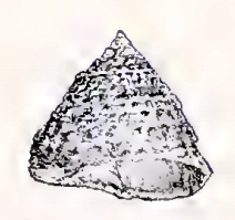 <i>Coelotrochus viridis</i> species of mollusc
