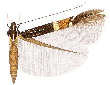 <i>Cosmopterix karsholti</i>