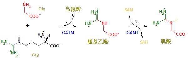 Път на синтеза на креатинArg - Arginine; GATM - Glycine amidinotransferase; GAMT - Guanidinoacetate N-methyltransferase; Gly - Glycine;  Met — Methionine; SAH — S-adenosyl homocysteine; SAM — S-adenosyl methionine.ензими / коензими / име на веществото