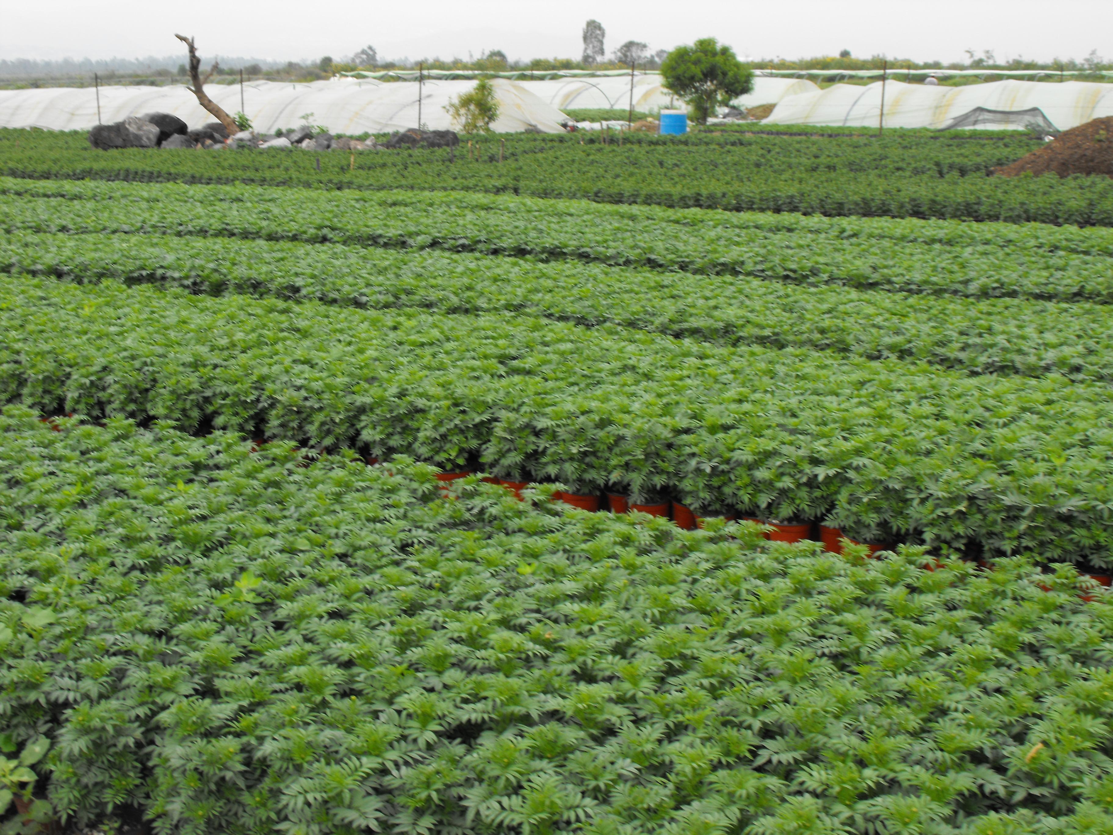 File cultivo de plantas ornamentales jpg wikimedia commons for Plantas ornamentales wikipedia