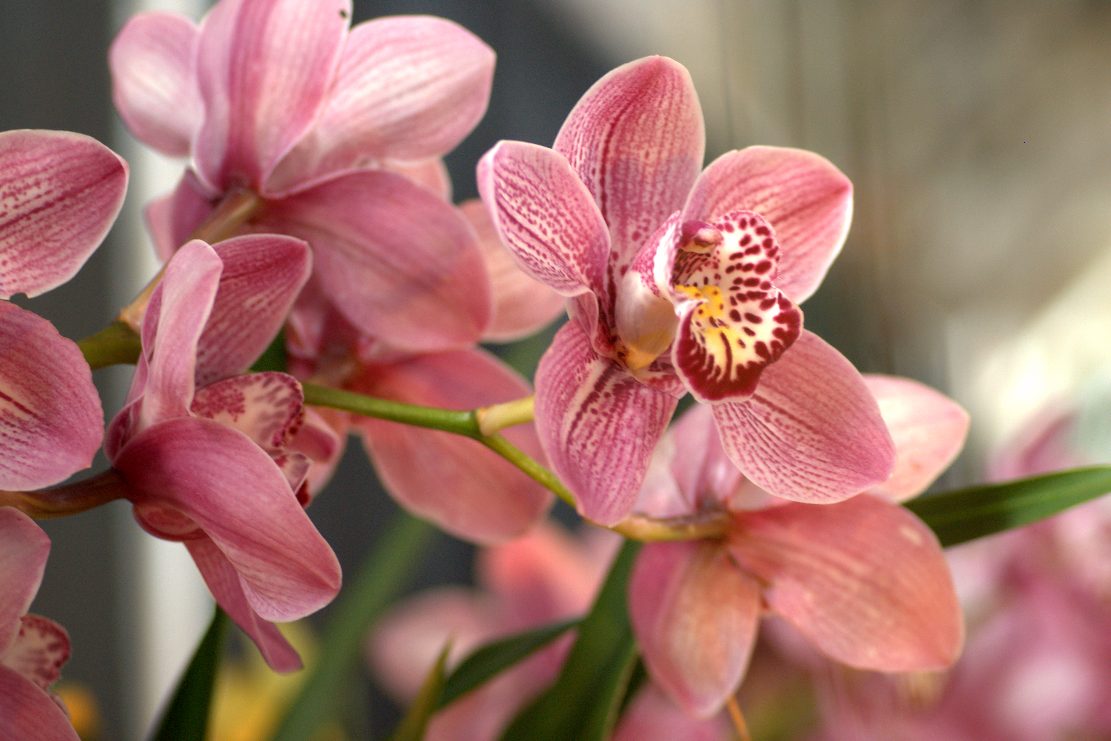 Pink orchid plants