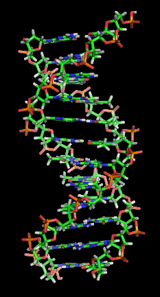 Static thumb frame of Animation of the structure of a section of DNA. The bases lie horizontally between the two spiraling strands. (Image credit: Wikipedia)