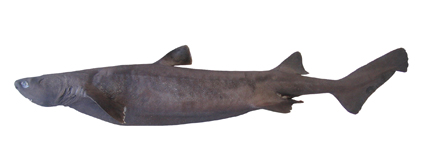 Kitefin Shark Wikipedia