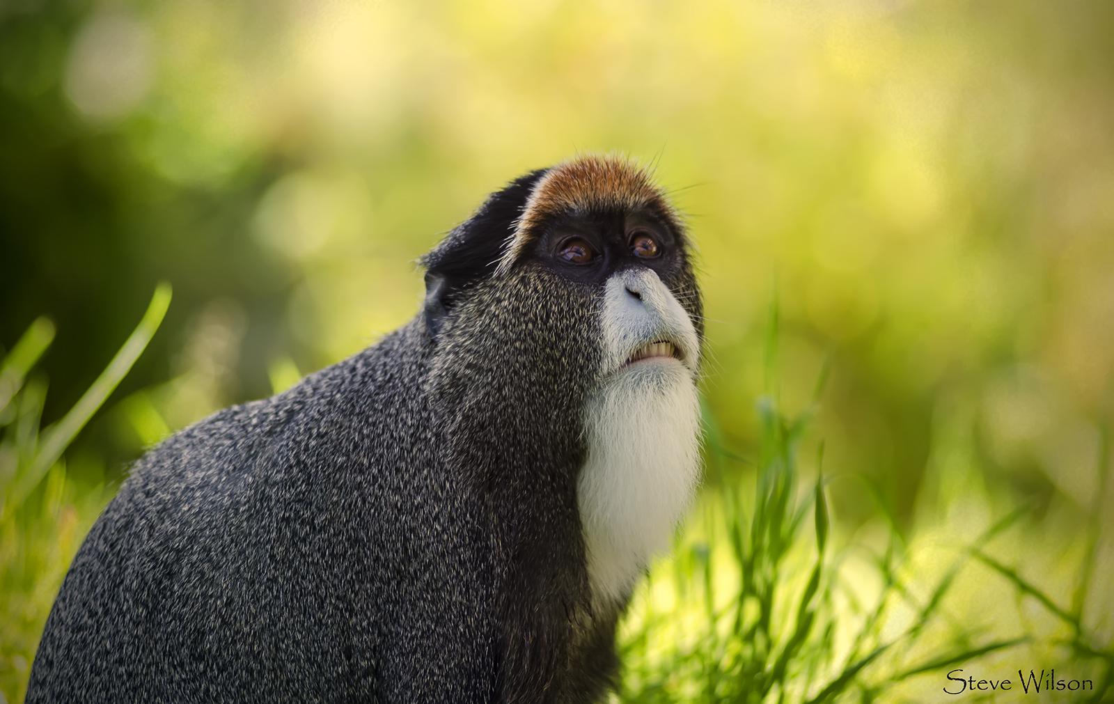 Image result for De Brazza's Monkey -