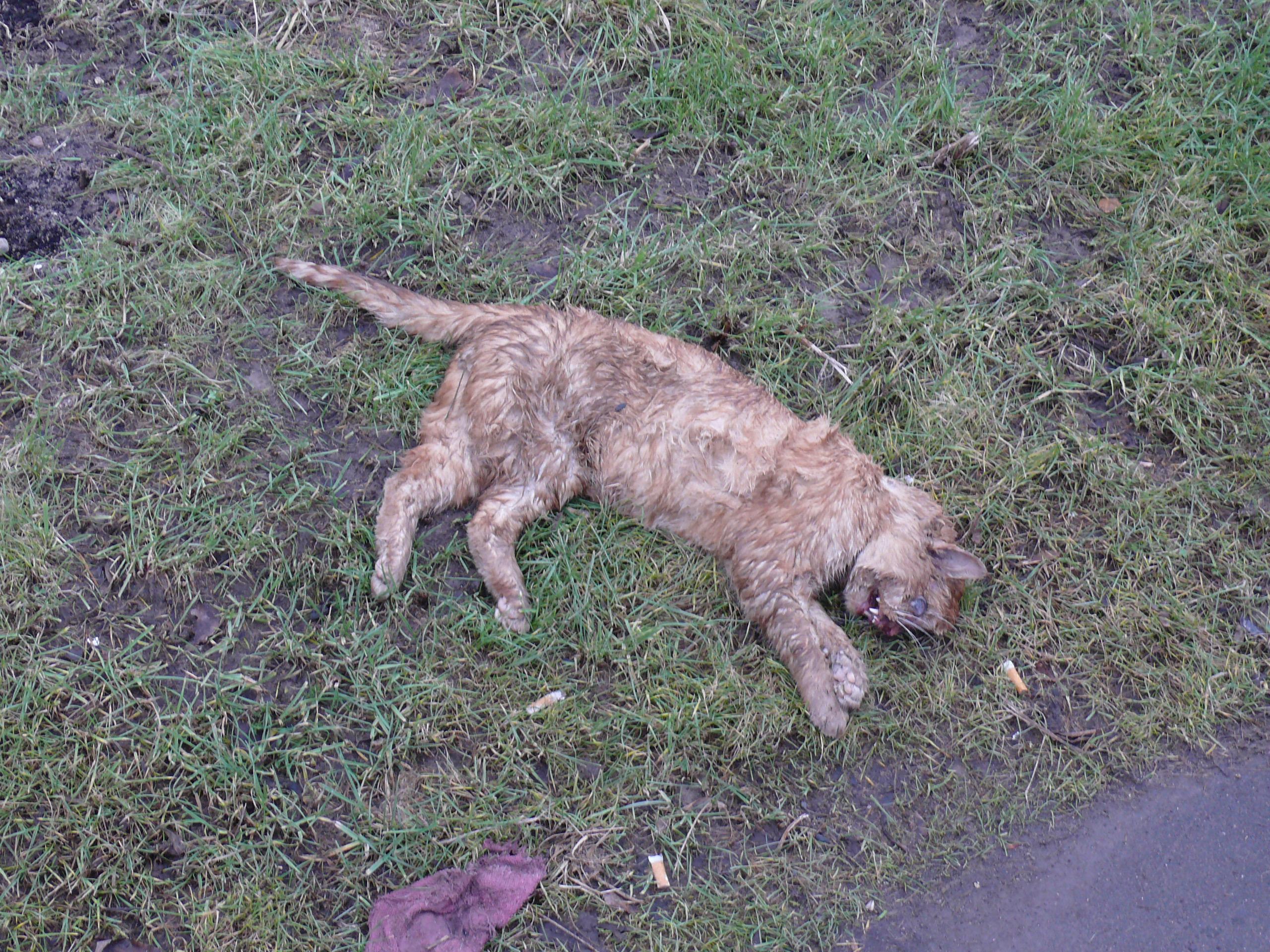 File Dead cat jpg - Wi...