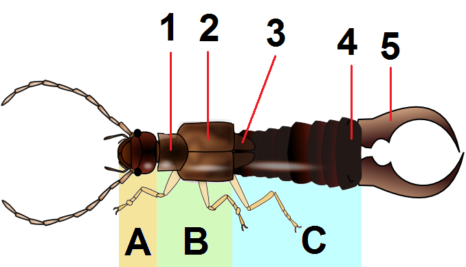 Life Cycle Of Earwig: File:Dermaptera Body PlanC.png