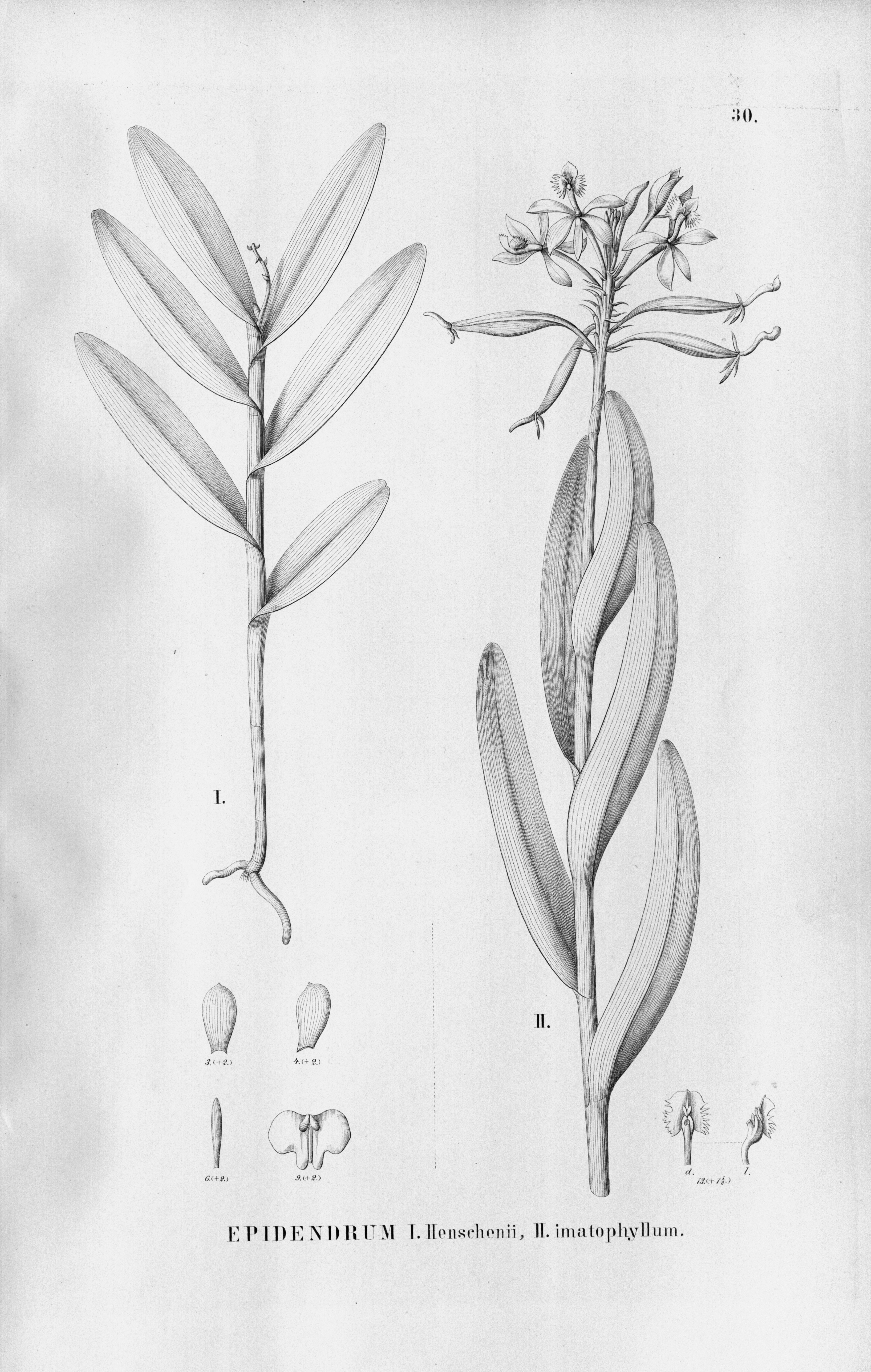 Tập tin:Epidendrum henschenii and Epidendrum imatophyllum - Fl.Br.3-5