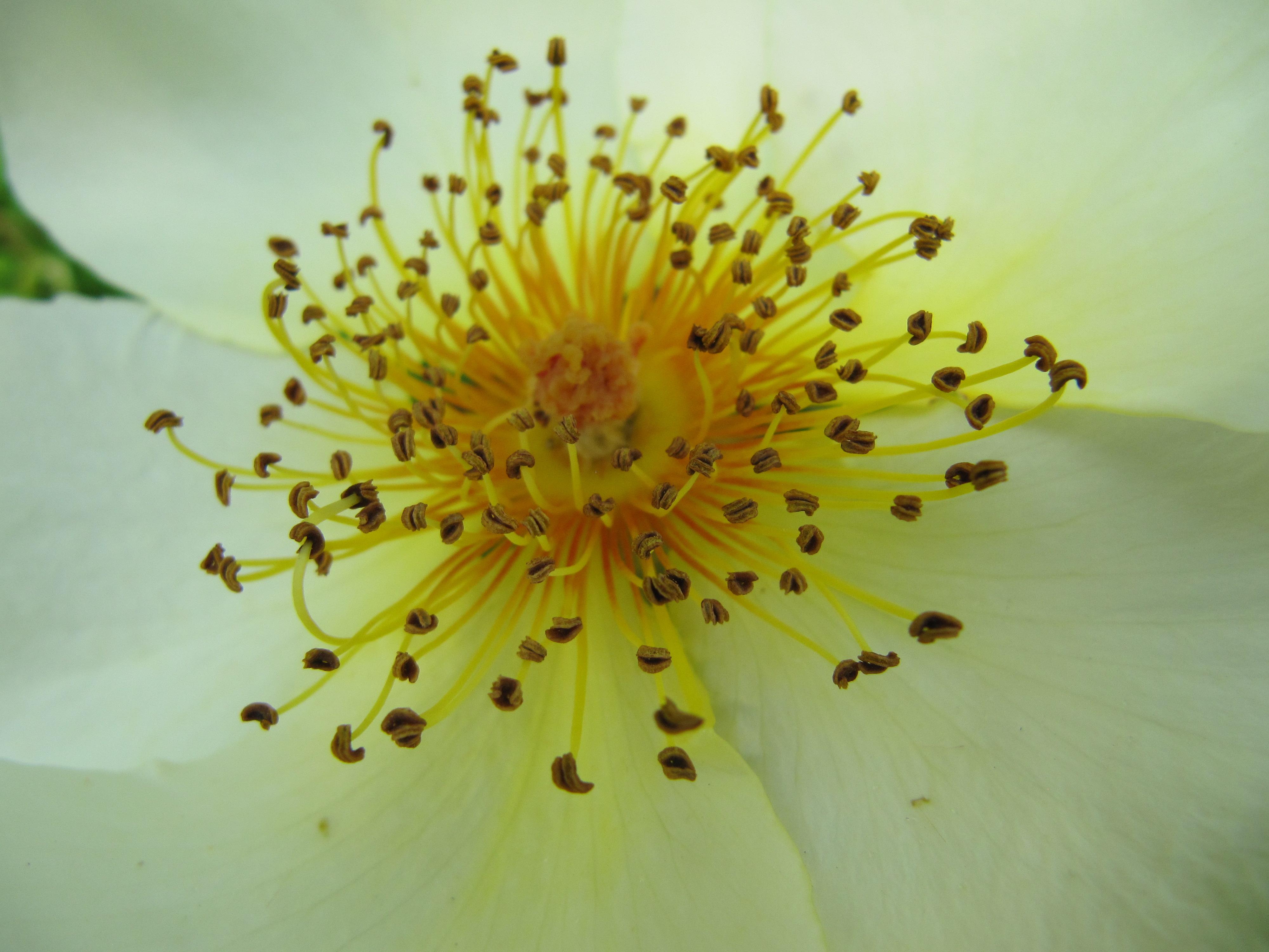 file fleur blanche pistil jaune jpg wikimedia commons. Black Bedroom Furniture Sets. Home Design Ideas