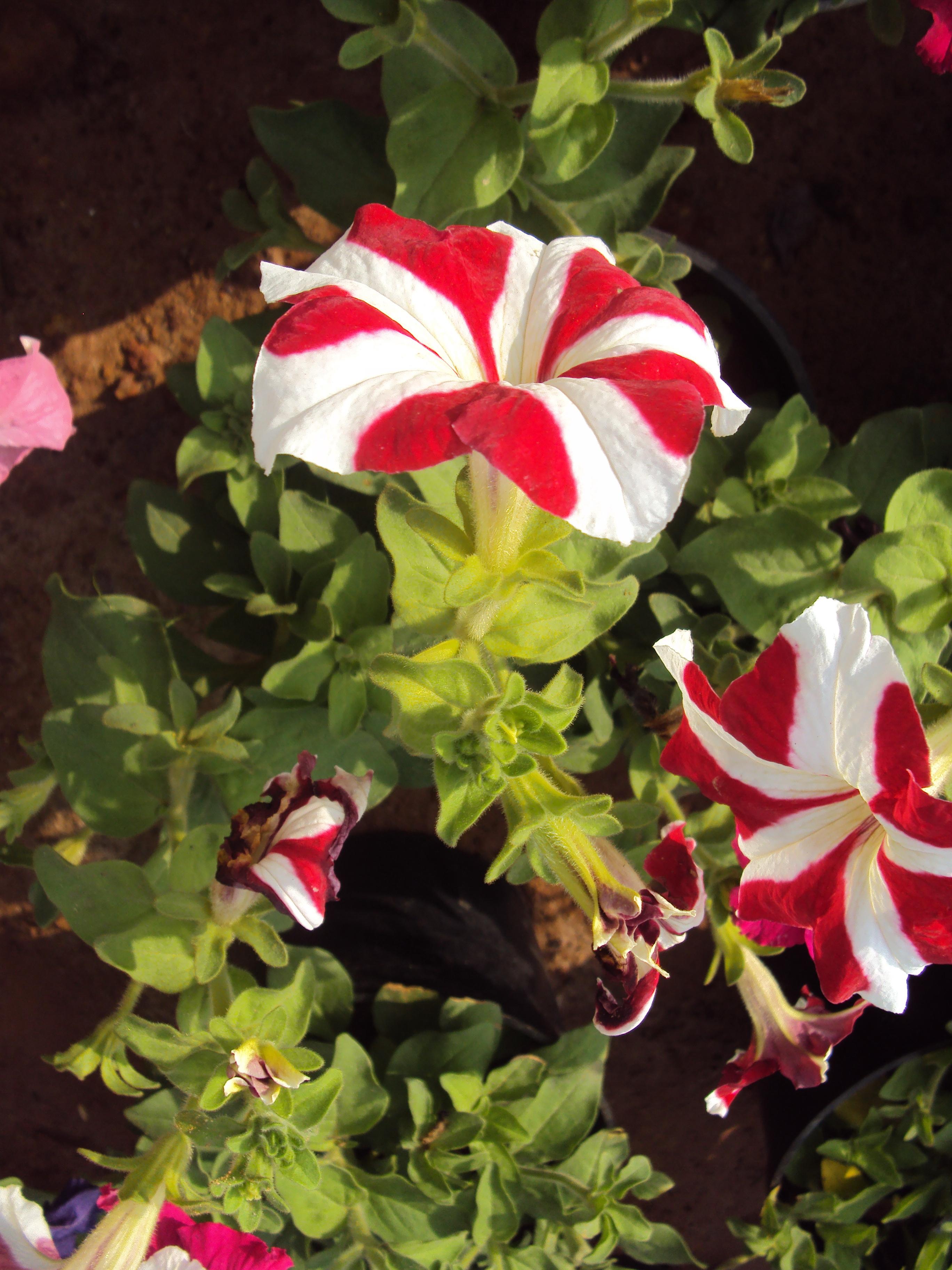 File flowers uncategorised garden plants 32 jpg for Plants for outdoor garden
