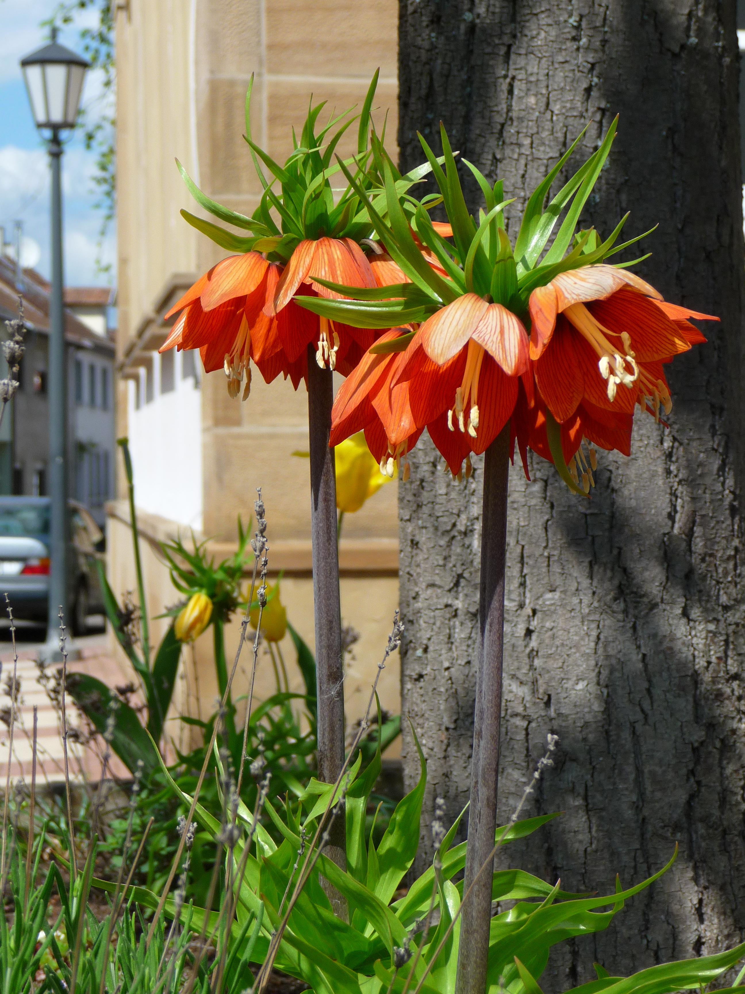 file fritillaria imperialis orange jpg wikimedia commons. Black Bedroom Furniture Sets. Home Design Ideas