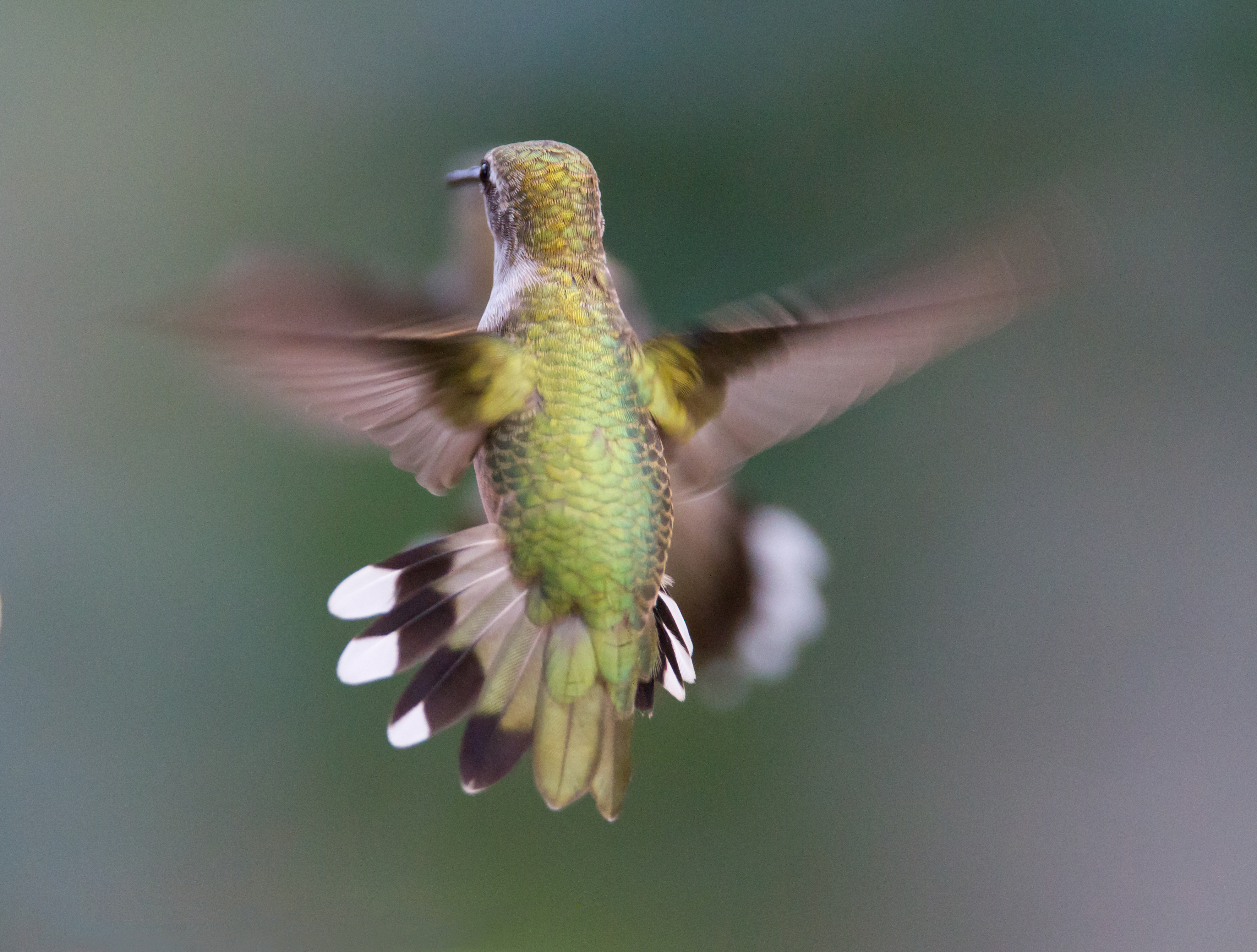 Bee hummingbird flying - photo#16