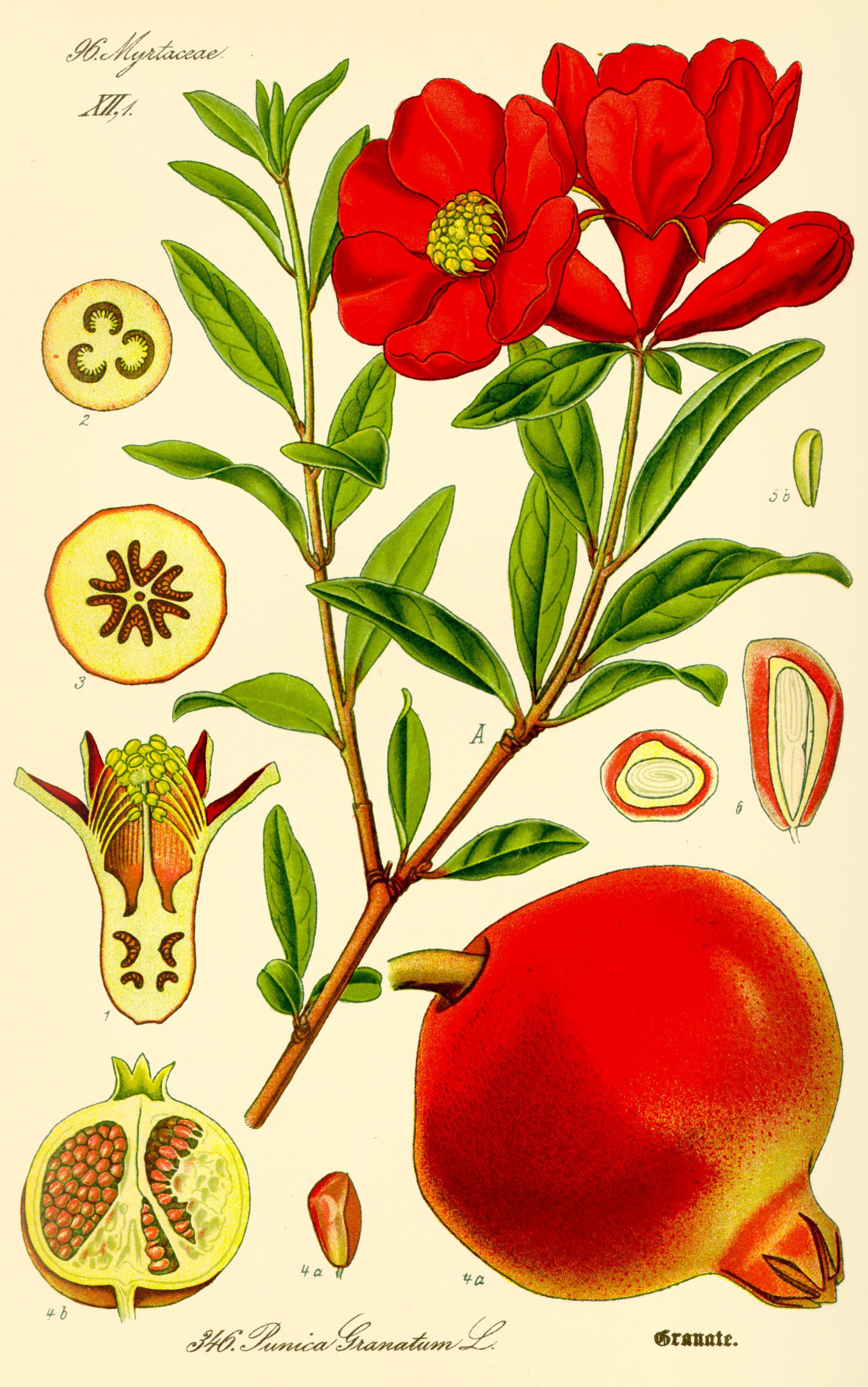 Illustration of Pomegranate by Otto Wilhelm Thomé, 1885
